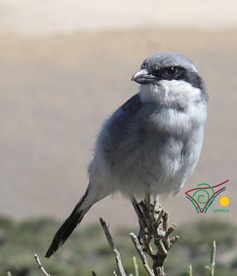 Chaffinch-Mount-Teide-wildlife