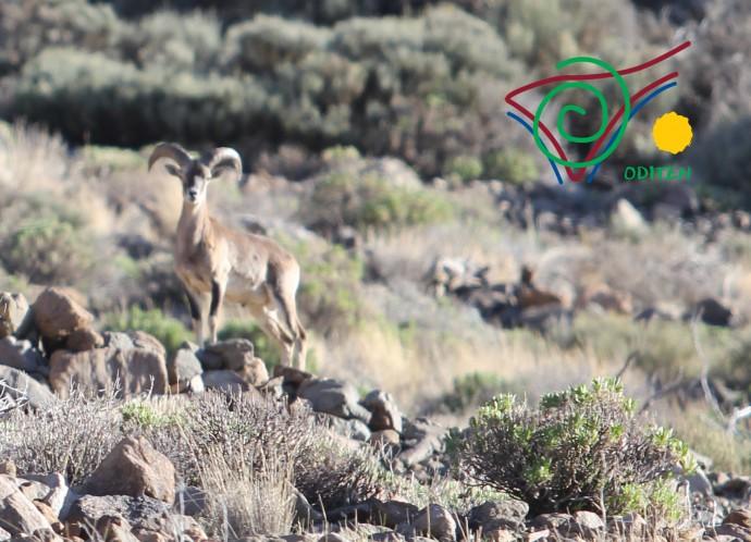 Teide-mouflon