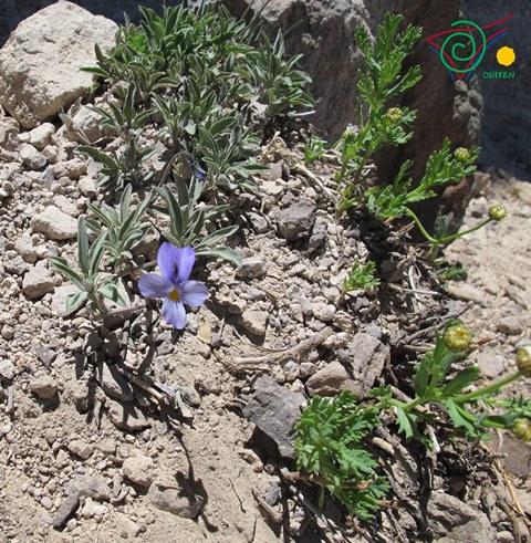 Violet-at-Mount-Teide